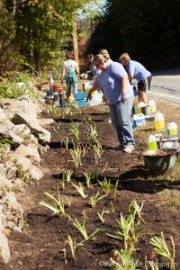 Planting daylilies at Forge Pond